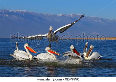 Dalmatian pelican (Pelecanus crispus), a Dalmatian pelican flying off from a group of swimming birds, Greece, Lake Kerkini - Stock Photo