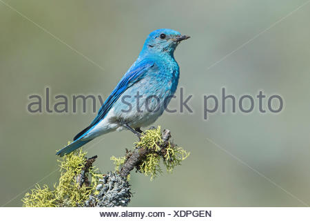 Male mountain bluebird (Sialia currucoides) delivering food its nestlings in a tree cavity nest southern Okanagan Valley - Stock Photo