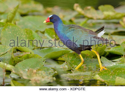 Purple Gallinule Porphyrio Martinicus Venetian Gardens Leesburg Stock Photo 70014544 Alamy