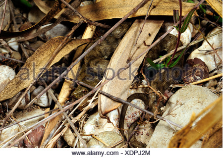 dice snake (Natrix tessellata), at his hiding place, Greece, Peloponnes, Kaiafa See - Stock Photo