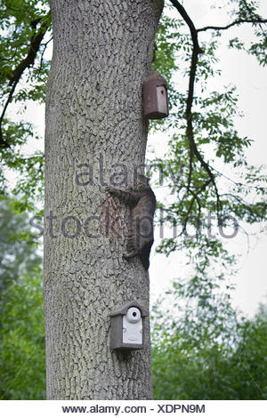 domestic cat, house cat (Felis silvestris f. catus), climbing up a tree trunk to get to the nest boxes fixed there, Germany - Stock Photo