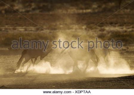 Gemsboks (Oryx gazella), nervous and raising lots of dust in the early morning, Kalahari Desert, Kgalagadi Transfrontier Park - Stock Photo