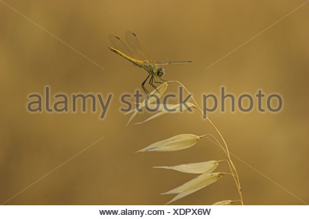 scarlet darter (Crocothemis erythraea), on wild oat (Avena fatua), France, Provence - Stock Photo