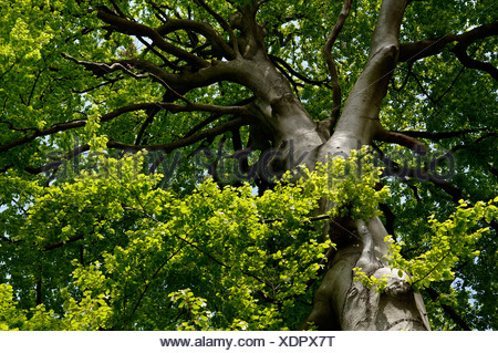 Old Beech tree (Fagus), Lassahn, Mecklenburg-Western Pomerania, Germany, Europe - Stock Photo