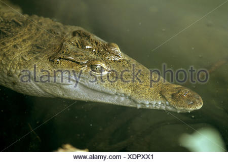 Philippine crocodile, Philippines crocodile, Mindoro crocodile (Crocodylus mindorensis), swimming, portrait - Stock Photo
