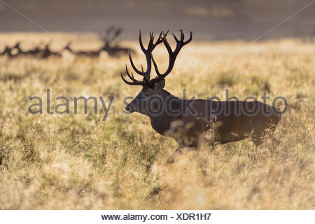 Red deer (Cervus elaphus), two Royal Stags with does, dewy meadow, backlit, Zealand, Denmark - Stock Photo
