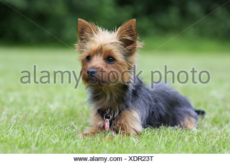 Yorkshire Terrier - Stock Photo