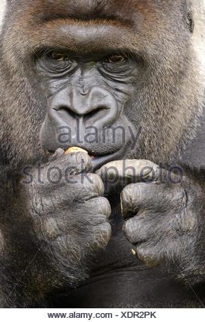 Plain gorilla, eat, portrait, - Stock Photo
