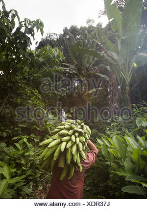 A man hauling a bunch of plantains from the family field. - Stock Photo
