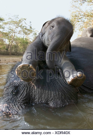Mother and calf resting in the river Kanha India - Stock Photo
