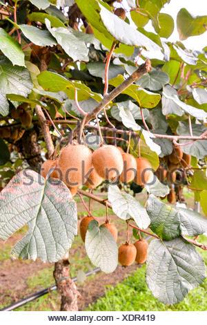 Kiwi Fruit Plantaion Tree - Stock Photo
