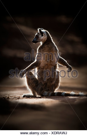 Ring-tailed Lemur basking morning sunshine in spiny forest. Berenty Private Reserve, southern Madagascar. - Stock Photo