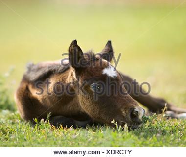 Purebred Arabian Horse Equus ferus caballus - Stock Photo