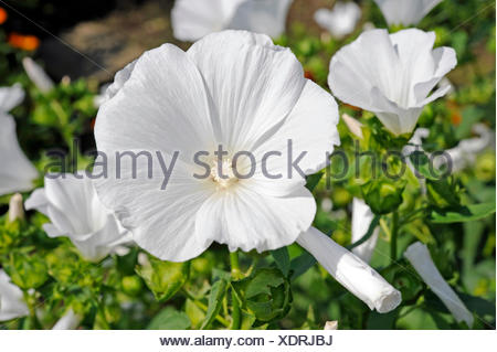 White blossoming tree mallow or rose mallow of the variety Montblanc in the summery cottage garden - Stock Photo