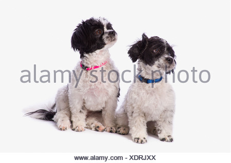 black and white havanese puppies; st. albert alberta canada - Stock Photo