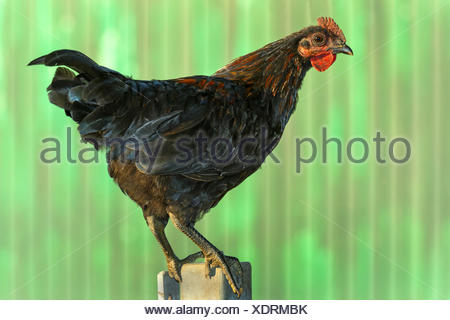domestic fowl (Gallus gallus f. domestica), adolescent hen standing on a post in front of a construction trailer, Germany, North Rhine-Westphalia - Stock Photo