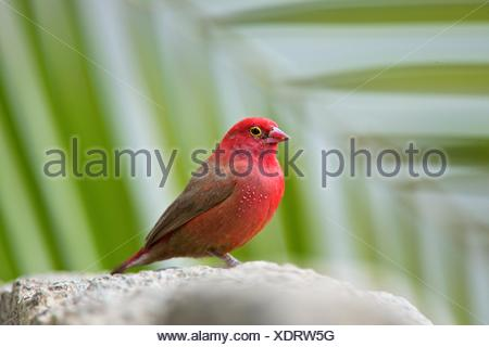 A male red-billed fire-finch perched on a rock in Ethiopia. - Stock Photo