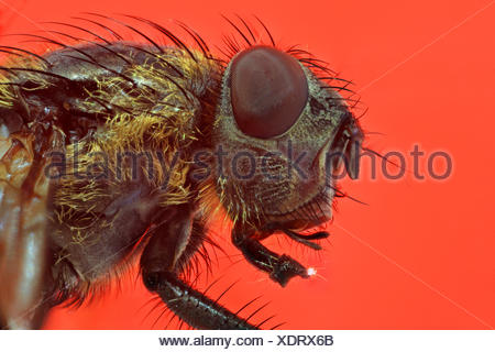 fly (Brachycera, Diptera), head of a fly, macro shot, with a piece of sugar on labellum - Stock Photo