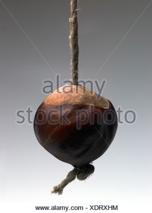 A conker hanging on a string - Stock Photo