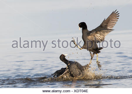 Fighting Coots (Fulica atra) defending their territory, rivals, Texel, province of North Holland, The Netherlands - Stock Photo