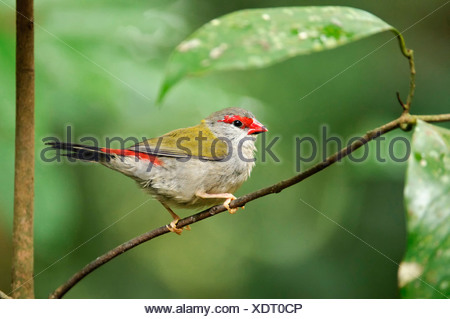 Red-browed Waxbill, Australian Red-browed Firetail Finch (Aegintha temporalis, Neochmia temporalis), on twig, Australia, Queensland - Stock Photo