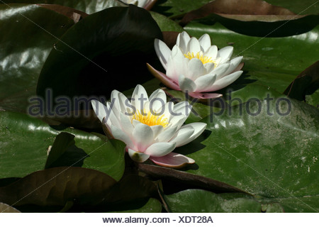 Leipzig, Germany, buehende White lilies - Stock Photo