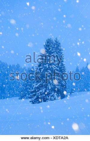 Gemeine Fichte, Gewoehnliche Fichte (Picea abies), Verschneite Fichten bei Schneefall, Schweiz | Norway spruce (Picea abies), sn - Stock Photo