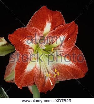 Amaryllis Hippeastrum spp flower on houseplant bulb - Stock Photo