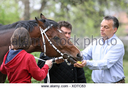 Dunakeszi, Hungary, Viktor Orban feeds the galloping racehorse Overdose - Stock Photo