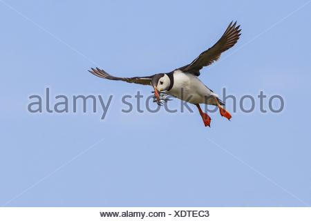 Atlantic puffin, Common puffin (Fratercula arctica), flying with fishes in the beak, United Kingdom, Scotland