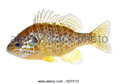 Pumpkinseed isolated on white - Stock Photo