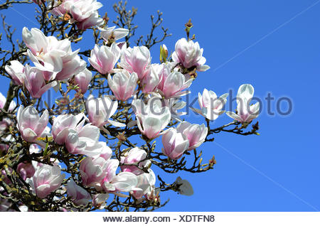 magnolia blossom - Stock Photo