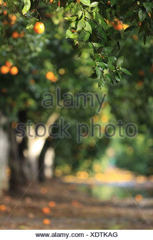 Israel, Citrus Grove, Wet ripe Oranges on a tree after rain - Stock Photo