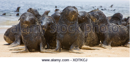 Close up of baby South African Fur Seals, Namibia, Africa - Stock Photo