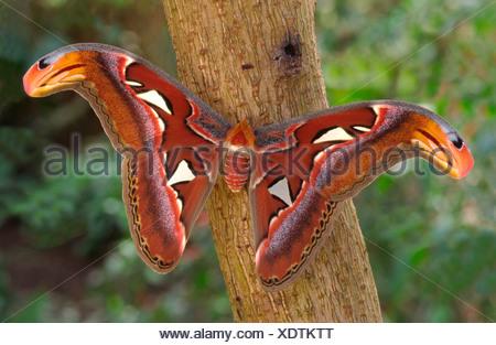 Giant Atlas Moth Attacus atlas  Borneo - Stock Photo