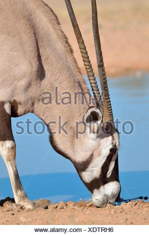 Gemsbok (Oryx gazella), licking minerals at waterhole, Kgalagadi Transfrontier Park, Northern Cape, South Africa - Stock Photo