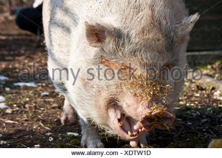 yawning pig - Stock Photo