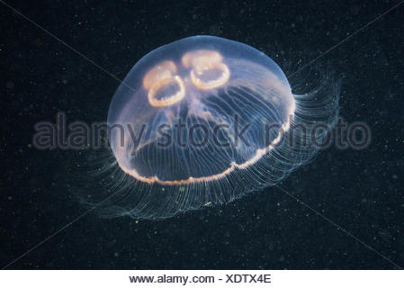 Moon jellyfish (Aurelia aurita) - Stock Photo