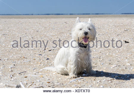 West Highland White terrier sitting on the beach - Stock Photo