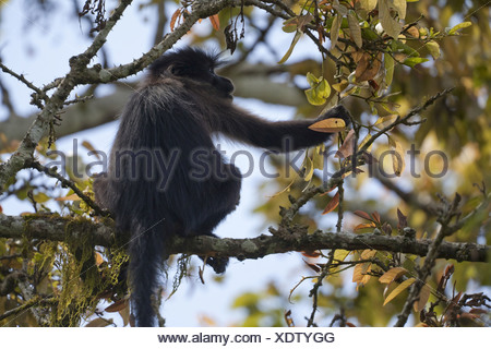 Grey-cheeked Mangabey (Lophocebus albigena) adult, sitting on tree branch, Bigodi Wetland Sanctuary, Uganda - Stock Photo