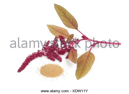 Twig with amaranth flowers and a heap of seeds on white background. - Stock Photo