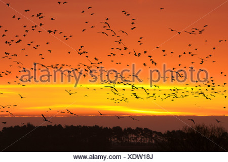 Pink-footed Goose Anser brachyrhynchus - Stock Photo