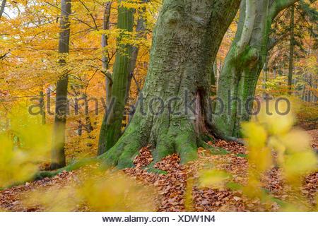 autumn at a beech forest at hunte river near doetlingen, oldenburg district, niedersachsen, germany - Stock Photo