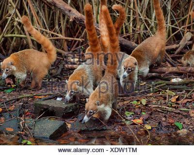 White-nosed coati (Nasua narica), group on the feed at mangrove, Mexico, Yukatan - Stock Photo