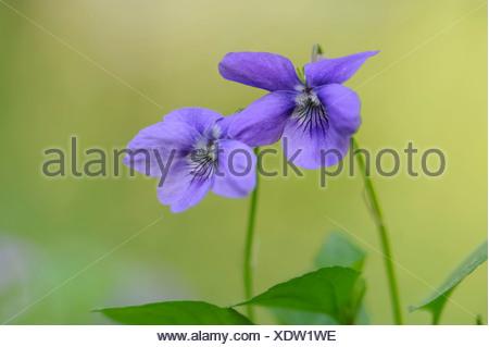 early dog-violet (viola reichenbachiana), germany - Stock Photo