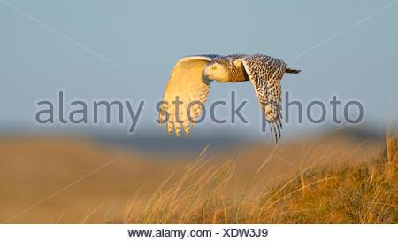 Snowy Owl (Strix scandiaca, Nyctea scandiaca, Bubo scandiacus), female flying over a dune in evening light, Netherlands - Stock Photo