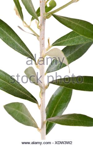 Detail view of a isolated in white branch, of a olive tree. - Stock Photo