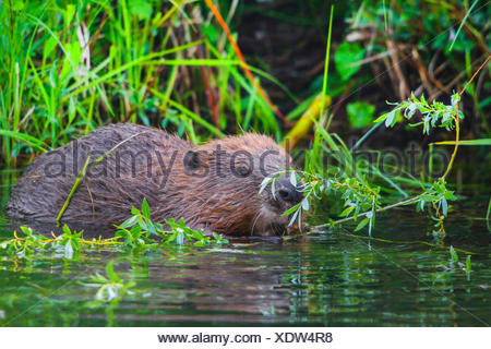 Eurasian beaver, European beaver (Castor fiber), feeds fresh willow twigs while standing in water, Switzerland, Lake Constance - Stock Photo