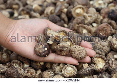 hand with Dried Shiitake Mushrooms - Stock Photo