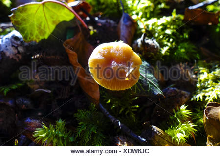 Gelber Pilz im Wald, Nahaufnahme, Yellow mushroom in the forest, close-up, Nature, Forest, Soil, Moss, Leaves, Mushroom, Sunny, - Stock Photo